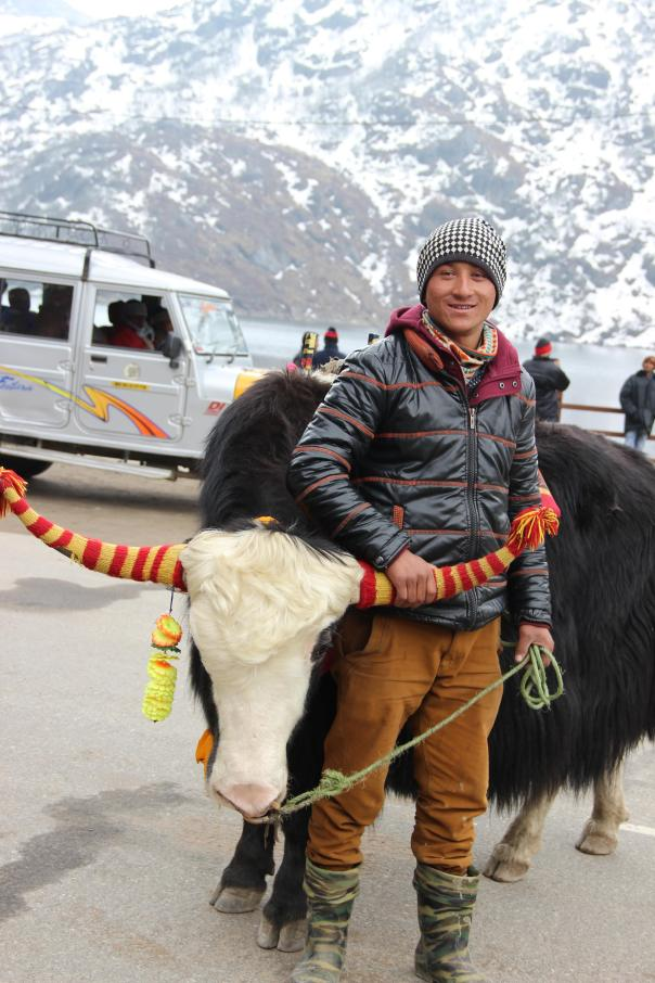 Yaks at Tsongmo Lake, Sikkim | mitzitup.com